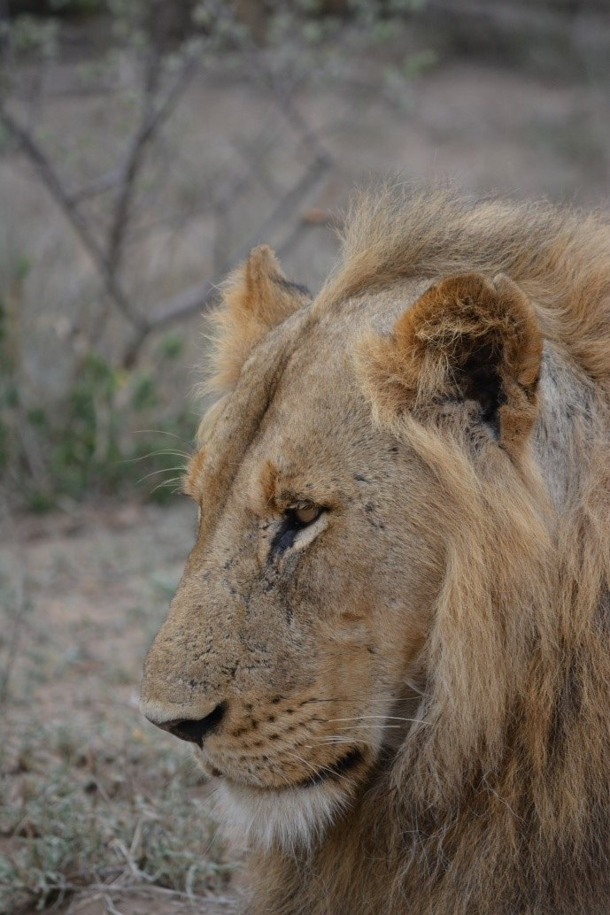 A lion sitting calmly in his natural habitat